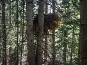 Porcupine Nest