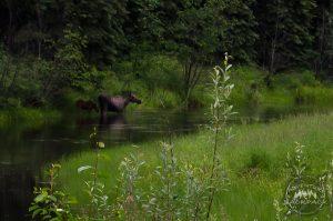 Wildlife in Fairbanks Alaska